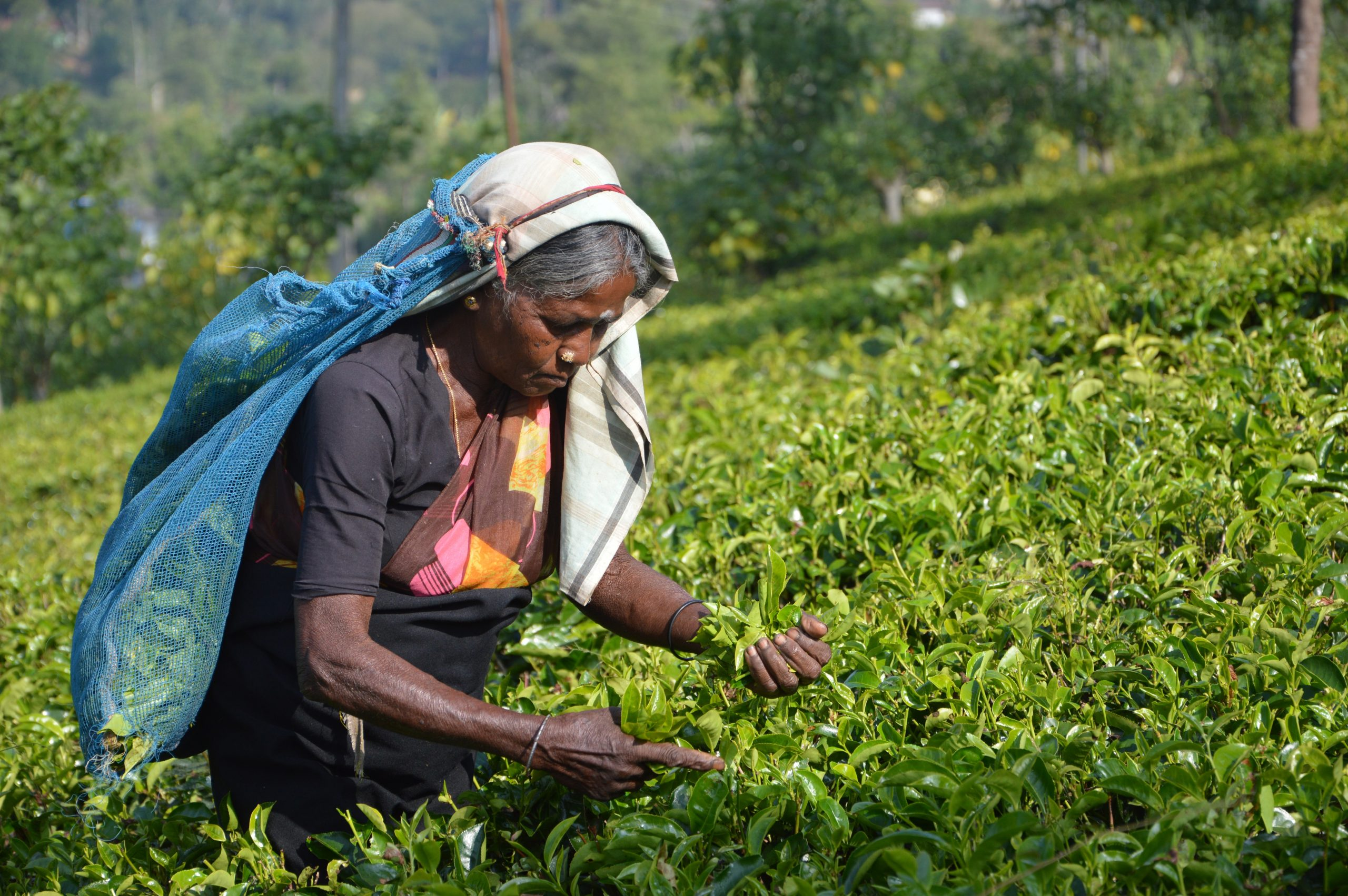 Voyages Yulgo Sri Lanka tea plantation
